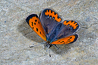 Kleiner Feuerfalter, Lycaena phlaeas, small copper, American copper, common copper, Le Cuivré commun, Bronzé