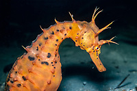 big-belly seahorse or pot-bellied seahorse, Hippocampus abdominalis, female with eggs, New Zealand