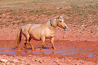 Palamino mare splashes through a red clay water hole.