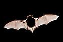 Common Pipistrelle Bat (Pipistrellus pipistrellus), backlit to show bone stucture. Dead speciman. Derbyshire, UK.