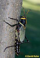 0913-0805  Adult Horse Lubber Grasshopper - Taeniopoda eques © David Kuhn/Dwight Kuhn Photography.