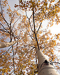 Golden aspen leaves fill the Colorado fall sky in Golden Gate Canyon State Park in Golden, Colorado.