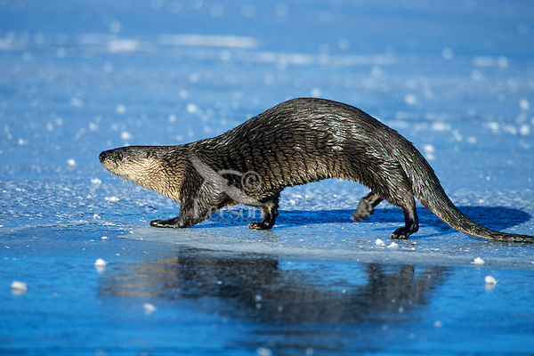 River otter trotting/loping (otters have an odd, slinky gait on land) across frozen pond, Western U.S., winter.