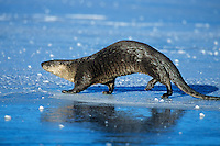 River otter trotting/loping (otters have an odd, slinky gait on land) across frozen pond, Western U.S., winter.