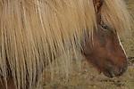 Icelandic horse(s), Iceland