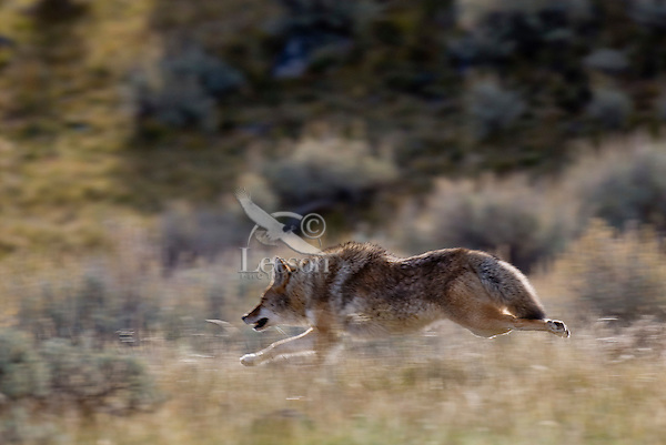 Coyote (Canis latrans) running