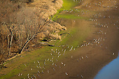 Sandhill Cranes along Tennessee River