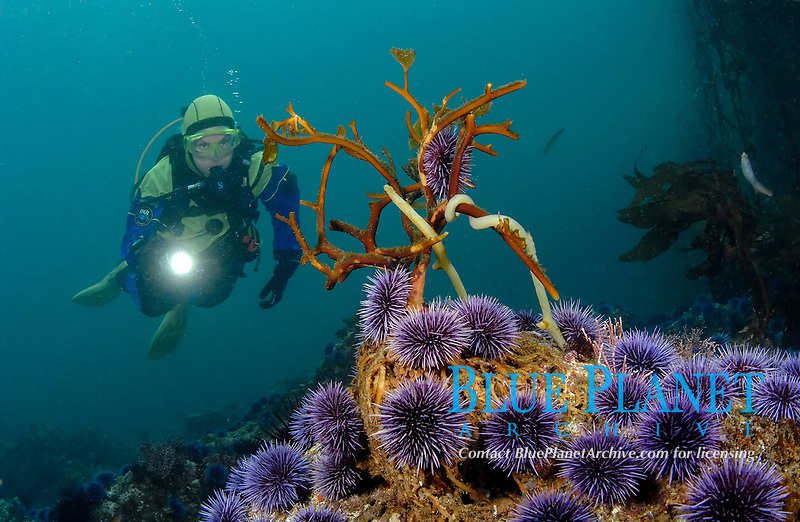 Scuba diver with giant brown kelp, Macrocystis pyrifera, reduced to holdfasts by purple sea urchins, Strongylocentrotus purpuratus, Anacapa Island, Channel Islands, California, Pacific, MR