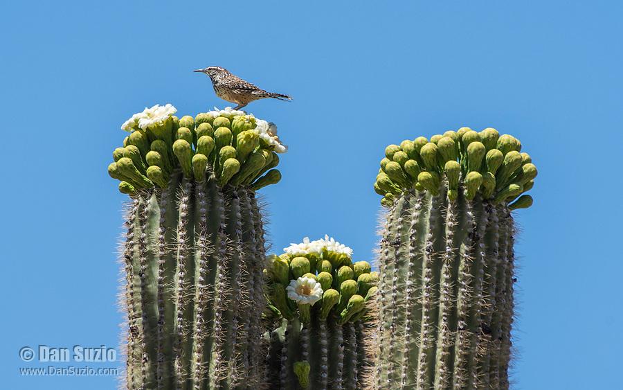 Cactus Wren, Campylorhynchus brunneicapillus, perches on a Saguaro cactus, Carnegiea gigantea, in Saguaro National Park, Arizona