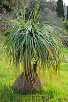 Le Domaine du Rayol:<br /> dans le jardin d'Amérique subtropicale, Nolina longifolia = noline à longues feuilles.