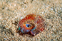 Hawaiian bobtail squid, Euprymna scolopes, burying itself in sand to hide and be camouflaged, endemic species, South Shore, Oahu, Hawaii, USA, Pacific Ocean