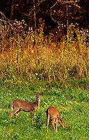 Two deer graze in a field near Watauga Lake in Butler, Tennessee.