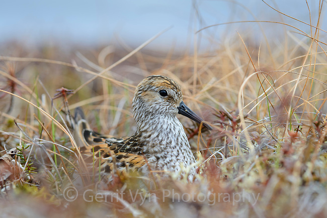 Western Sandpiper (Calidris mauri) incubating its eggs on the nest. Yukon Delta National Wildlife Refuge, Alaska. June.
