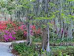 Azaleas and Spanish Moss at Magnolia Plantation and Gardens in  Charleston, South Carolina, USA
