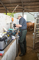 19-5-2021 A Technician artificially inseminating   beef cows <br /> ©Tim Scrivener Photographer 07850 303986<br />      ....Covering Agriculture In The UK....