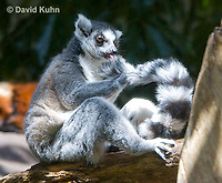 0303-1104  Ring-tailed Lemur, Lemur catta  © David Kuhn/Dwight Kuhn Photography