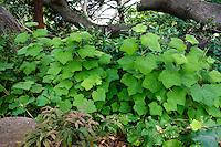 Thimbleberry Rubus parviflorus leaf texture in California native plant shade garden under oak tree with ferns, Schino