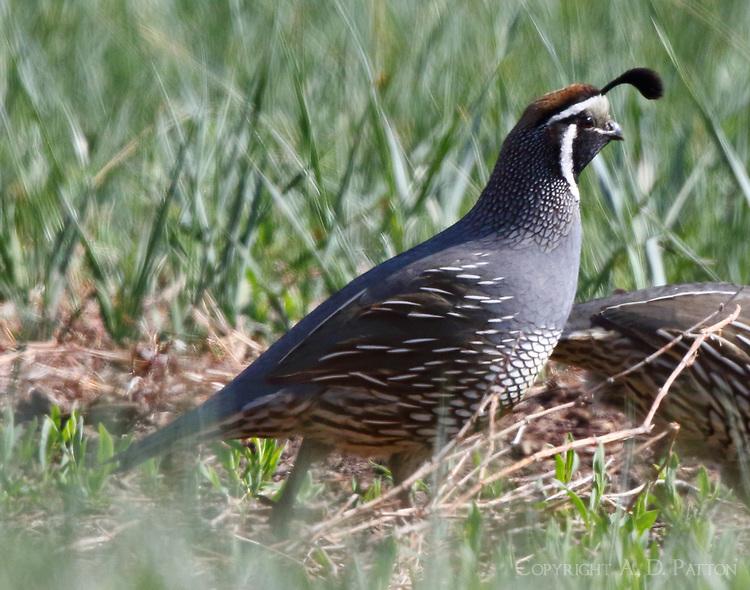 Male California quail