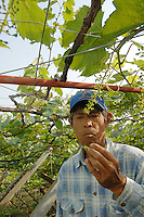 Workers at the Makioka Vineyard Yamanashi Prefecture, Japan. Dubourdieu is helping to develop a Japanese white wine that will be eaten primarily with Japanese cuisine.