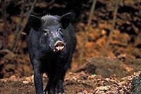 Wild black pig know to create havoc in the native Hawaiian rainforest