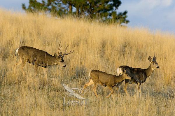 Mule Deer (Odocoileus hemionus)--buck is herding doe with half grown fawn during fall rut.  Western U.S., Fall.