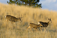 Mule Deer (Odocoileus hemionus)--buck is herding doe with half grown fawn during fall rut.  Western U.S., Fall.