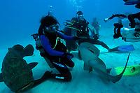 Scuba diver handles nurse shark, Ginglymostoma cirratum, while being filmed, Molasses Reef, Key Largo, Florida, USA, Atlantic Ocean