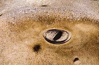 Eye of California Hornshark (Heterodontus francisci), Channel Islands, California (USA) - Pacific Ocean