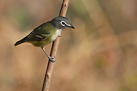 """The Blue-headed Vireo is a vocal bird of northeastern forests. Formerly lumped as a """"Solitary Vireo"""" with the more western Plumbeous and Cassin's vireos, it is now considered a separate species."""