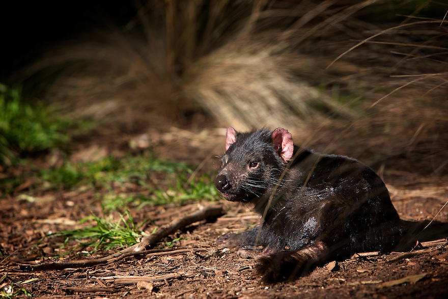 Tasmanian Devil rests in the shade