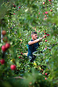 07/10/19<br /> <br /> ***Video also available*** <br /> <br /> Skilled worker hand-picks ripe and red British Gala apples from the tree ready to be delivered to supermarkets.<br /> <br /> Skilled workers are hand-picking British apples at an orchard in Kent, signalling the start of this year's season. Warm days and cold nights in late August and early September have produced an extremely vibrant crop.  <br /> <br /> All Rights Reserved, F Stop Press Ltd +44 (0)7765 242650 www.fstoppress.com rod@fstoppress.com