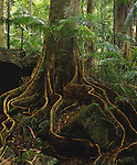 Yellow Carabeen Buttress Roots<br /> Mt Warning NP<br /> NSW