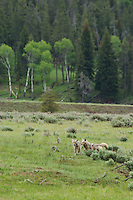 Wild Coyotes (Canis latrans) in sage covered valley, Western U.S., June.  Note: One coyote is wearing a study (telemetry) collar.