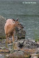 0623-1031  Northern (Woodland) White-tailed Deer Eating Grass, Odocoileus virginianus borealis  © David Kuhn/Dwight Kuhn Photography