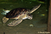 0606-0904  Atlantic Green Sea Turtle Swimming Underwater, Chelonia mydas  © David Kuhn/Dwight Kuhn Photography