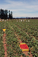 Fraser Valley, BC, British Columbia, Canada - Migrant Farm Workers picking and harvesting Fresh Strawberries in Strawberry Field