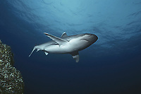 Silvertip Shark (Carcharhinus albimarginatus) approaching cleaning station, Cocos Island, Costa Rica - Pacific Ocean