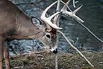 whitetail deer buck scraping antlers against tree, looking down