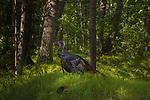 Wild turkeys in northern Wisconsin.