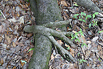 Looking like a reaching hand, one set of roots overlaps another.