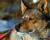 John Beargrease Sled dog marathon. Dog with frost around his mouth.