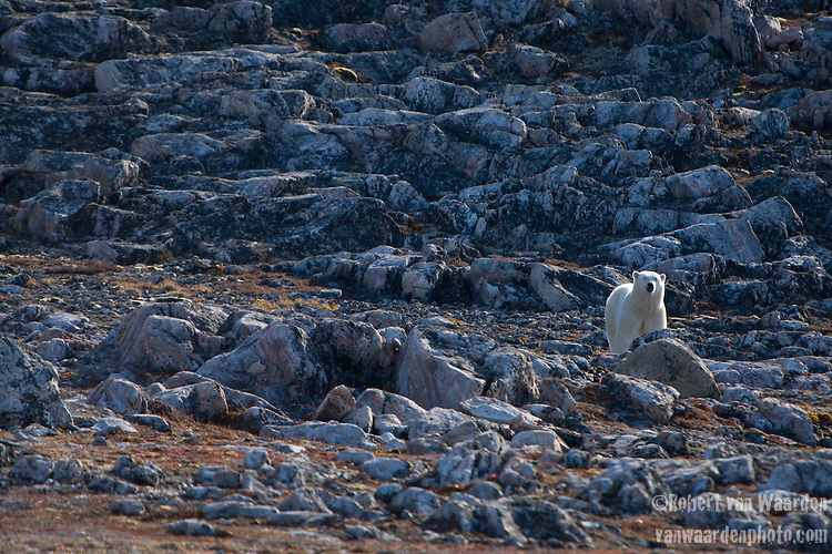 Polar bear (Ursus maritimus) amongst the rocks in Butterfly Bay, Nunavut, Canada.