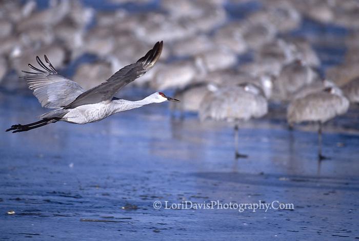 Sand Hill Crane Taking Off