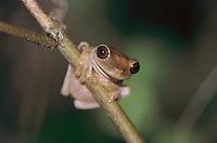 Treefrog, adult on branch, Rocklands, Montego Bay, Jamaica, January 2005