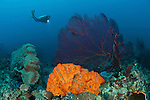 Bright orange sponge and massive fan corals in the reef with diver.