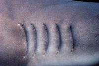 gills of whitetip reef shark, Triaenodon obesus, foraging reef, Cocos Island, Costa Rica, Pacific Ocean