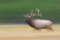 Elk, Wapiti, Cervus elaphus, bull running,  Yellowstone NP,Wyoming, USA