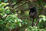 A blue monkey sits on a tree branch eating in Africa.