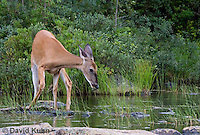 0623-1024  Northern (Woodland) White-tailed Deer Drinking Water, Odocoileus virginianus borealis  © David Kuhn/Dwight Kuhn Photography