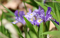 Bright light purple dwarf iris wildflowers blossoming in spring, at the porters creek trail at the great smoky mountains national park, USA - Free stock photo.